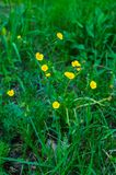 Yellow field buttercups on a background of green grass in the field stock photography