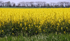 Yellow field of canola Royalty Free Stock Photo