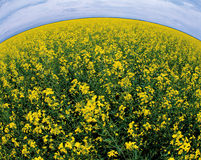 Yellow field of canola Stock Photography