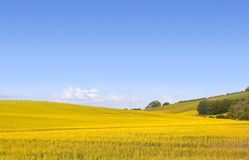 Yellow field of canola. Rolling English rural landscape of golden yellow rapeseed or canola royalty free stock photos