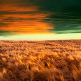 Yellow field and clouds sky Royalty Free Stock Images