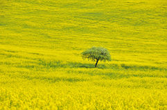 Yellow field. With coleseed and lonly tree royalty free stock photo