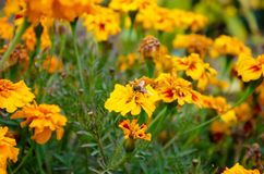 Yellow field colors with bee stock photo