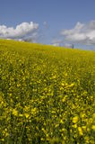 Yellow field of colza flower Royalty Free Stock Image