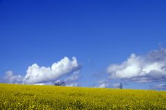 Yellow field of colza flower Stock Image
