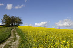 Yellow field of colza flower and tractor tracks Stock Image