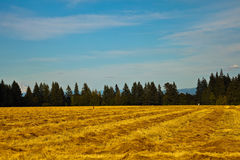 Yellow field in countryside. Scenic view of yellow corn field in countryside with forest in background, Willamette Valley, Oregon, U.S.A Stock Photos