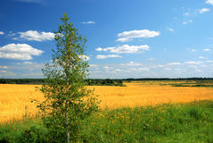 Yellow field in countryside. Scenic view of yellow rapeseed field in countryside with lone tree in foreground, spring scene Royalty Free Stock Photo