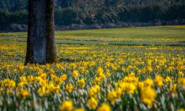Yellow field of daffodils. Alone tree stands in a field of bright yellow daffodils in Canada waiting to be picked for market Stock Photography