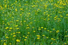 Yellow field of dandelions in the Park, Ulyanovsk royalty free stock photo