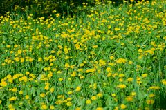 Yellow field of dandelions in the Park, Ulyanovsk stock photography