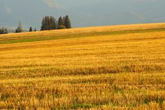 Yellow field detail Royalty Free Stock Photography