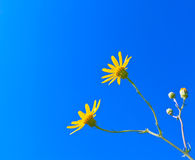 Yellow Field Flower. Beautiful yellow field flower against the blue sky background Royalty Free Stock Photography