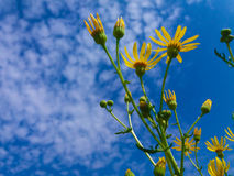 Yellow field flower. Under the blue sky Stock Photography