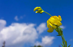 Yellow Field Flower. Very beautiful yellow field flower under the blue sky Royalty Free Stock Photography