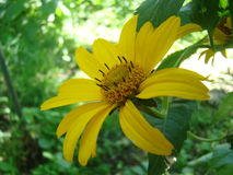 Yellow field flower village macro Royalty Free Stock Photo