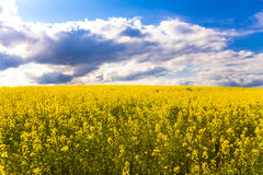 Yellow field of flowering rapeseed royalty free stock photos