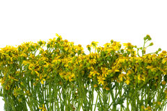 Yellow field flowers Royalty Free Stock Photos