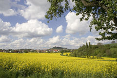 Yellow field of flowers. A yellow field of flowers in summer Stock Photography
