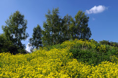 Yellow Field Flowers and Birch-trees on the Hill Royalty Free Stock Images