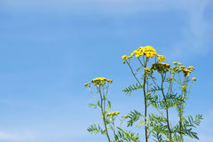 Yellow field flowers with bright sunny sky background. Yellow flowers with a blue sky background. Some white clouds. Summer feeling stock photography