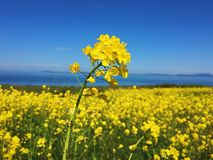 Yellow field of flowers. Spring field of yellow flowers in a meadow. Blue sunny sky. Landscape backgrounds Royalty Free Stock Images