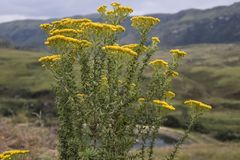 Yellow field flowers, mountains in the background, Drakensberg, stock photo