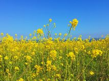 Yellow field of flowers Stock Image