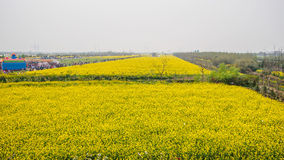 Yellow field full of rapeseed (brasica napus) Royalty Free Stock Images
