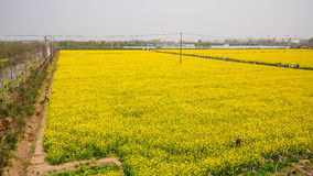 Yellow field full of rapeseed (brasica napus) Stock Photography