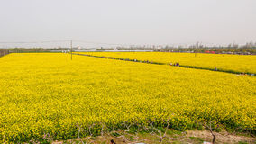Yellow field full of rapeseed (brasica napus) Royalty Free Stock Photos