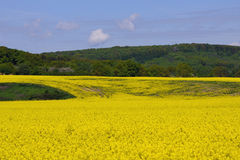 Yellow field with greenforest on a background Royalty Free Stock Photography