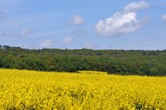 Yellow field with greenforest on a background Stock Photo