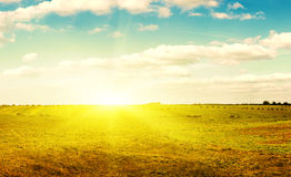 Yellow field of haystacks under blue sky. royalty free stock photography
