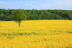 Yellow field Royalty Free Stock Photos