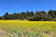 Yellow field Stock Photography