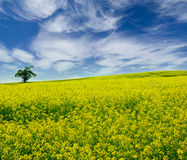 Yellow field with lone tree Royalty Free Stock Photo