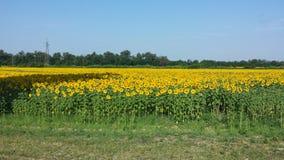 Yellow field Royalty Free Stock Photo