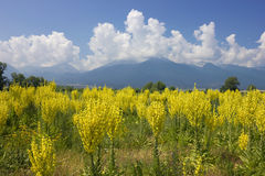 Yellow field of Mullein with Pirin Mountains. In Bulgaria at the background, shot over blue sky with bright white clouds Royalty Free Stock Photography