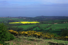Yellow field near Whitby. Bright yellow field with Whitby Abbey on the hill in the distance Stock Photography