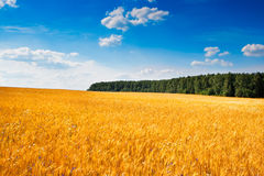 Yellow Field Of Wheat Under Blue Sky