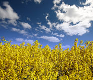 Yellow field with oil seed Stock Image