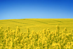 Yellow field with oil seed rape in early spring Royalty Free Stock Photos