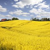 Yellow field with oil seed in early spring Stock Photos