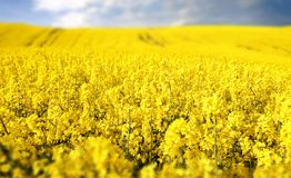 Yellow field with oil seed rape in early spring Royalty Free Stock Image