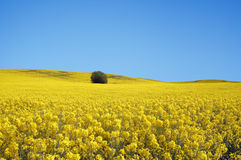 Yellow field with oil seed in early spring Stock Photo