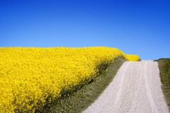 Yellow field with oil seed in early spring royalty free stock photography