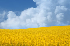 Yellow field with oil seed rape in early spring Stock Photo