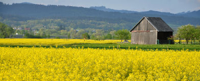 Yellow field of oilseed rape with wooden warehouse in background Royalty Free Stock Images