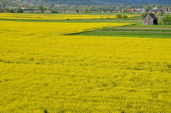 Yellow field of oilseed rape with wooden warehouse in background Royalty Free Stock Photos